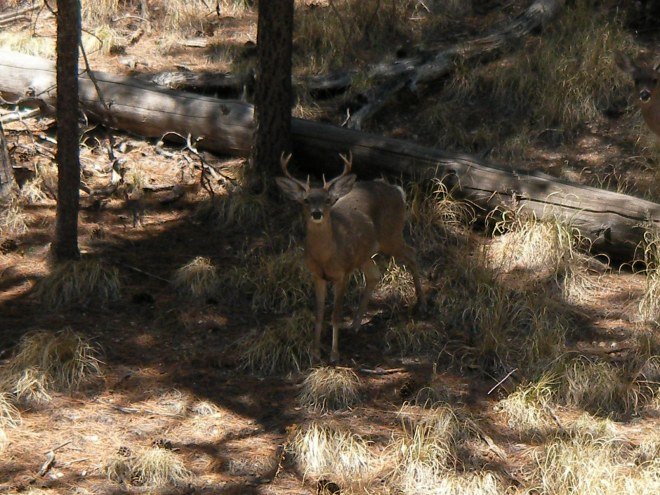 Arizona Coues Deer