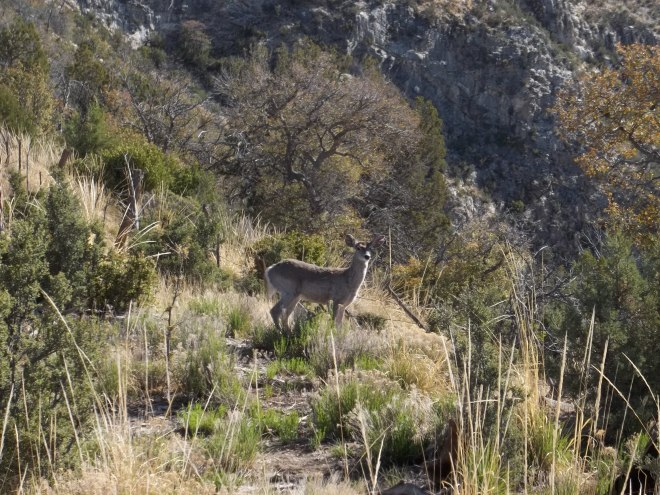 Coos Deer